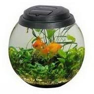 Золотая рыбка в настольном аквариуме